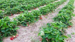 Die roten Früchtchen locken: das Erdbeerfeld vom Lüscherhof Wettingen kurz vor Erntebeginn.