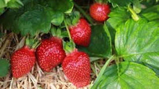 Erdbeere Flair
