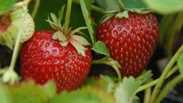 Erdbeere Malwina