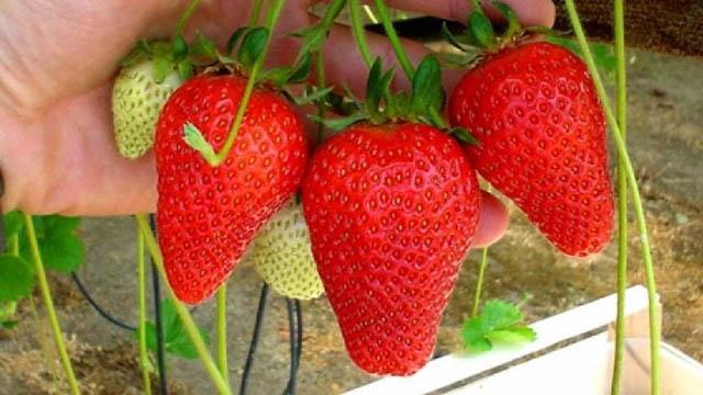 Erdbeere Syria
