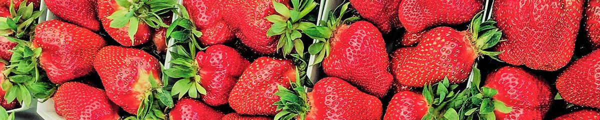 Erdbeeren - selber pflücken im Lüscherhof in Wettingen